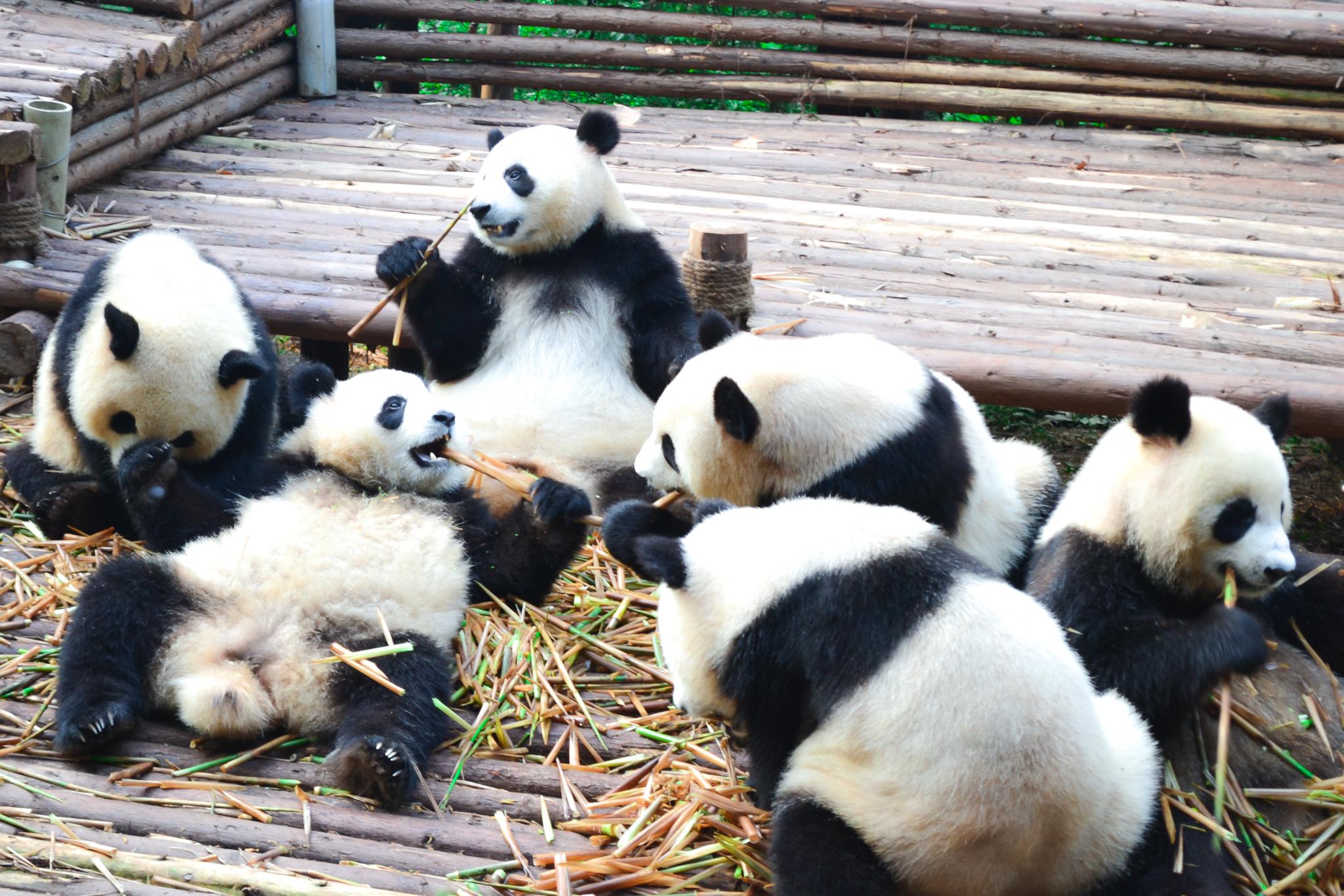 in welchen orten gibt es pandas